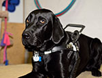 Adult Assistance Dog Jackson