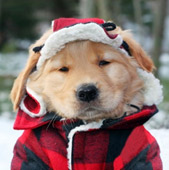 Dog in Christmas Clothes